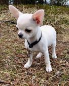 Čivava štěně