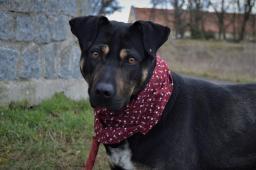 ZUZANA - Ovčák x - fena 2 roky