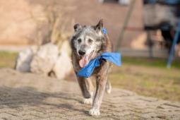 ROXÍK - kříženec 33 kg - kastrovaný pes 10 let