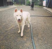 MYŠKA - Husky x - kastrovaná fena 4 roky