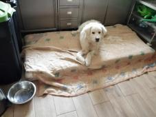NERO - Labradorský retrívr - pes.