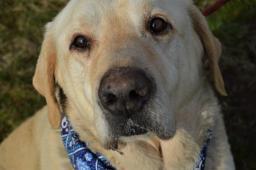 MAX - Labradorský retrívr - pes