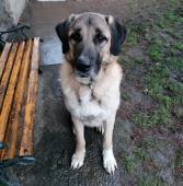 ADONIS - Anatolský pastevecký pes - 2,5 roku.