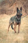 TIBET - Německý ovčák . pes cca 4 roky