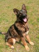 DARK - Německý ovčák x - kastrovaný pes 1,5 roku