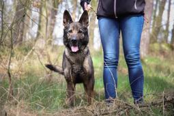 BOU - Německý ovčák - kastrovaná fena 6 let