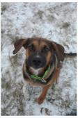 KUBÍK - Německý ovčák - pes 9 měsíců