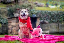 MATÝSEK - kříženec 13 kg - kastrovaný pes 13 let