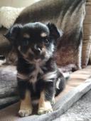 prodám štěně čivavy