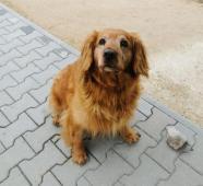 LESAN - Jezevčík x Kokr 20 kg - pes 9 let