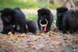 Německý špic velký černý prodám štěňata s PP