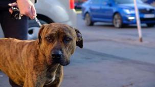 ASAN - kříženec 38 kg - kastrovaný pes 4 roky