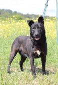 KELLY - Ovčák x Labrador - kastrovaná fena 1,5roku
