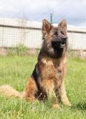 EDDIE - Německý ovčák - pes 2 roky