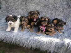 Biewer Yorkshire Terrier a Spaltbiewer fenky