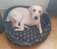 BELLA - Labrador x kříženec - štěně, fena 8 měsíců