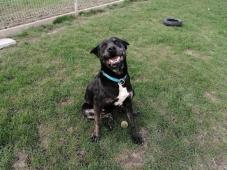 HECTOR - Bull x - pes 2 roky