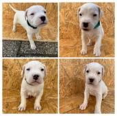 Štěňata Argentinské dogy