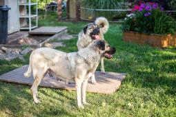 štěňata - Anatolský pastevecký pes
