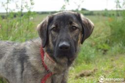 KAZAN - Kavkazský pes x -  pes