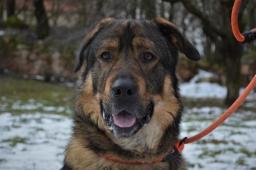 BOJAR - Kavkazský x Ovčák - pes