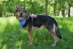 SARUMAN - Německý ovčák - pes
