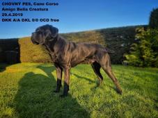 CHOVNÝ pes Cane Corso ke krytí