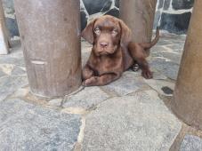 Labrador čokoládový