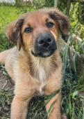 Liščata - kříženec - štěně, fena, pes, 11 týdnů
