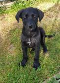 BLACKY - kříženec - štěně, pes 3 měsíce