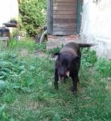 MAXÍK - Labradorský retrívr - pes 12 let