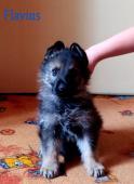 Německý ovčák , vlkošedý pes 2.měsíce