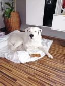 DÉMON - Labrador x Doga - pes 4 roky