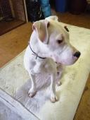 BONNO - Argentinská doga x - pes štěně