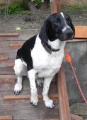 EVIEN - kříženec 26 kg - pes 1 rok