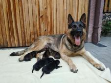 Německý ovčák štěňata s PP