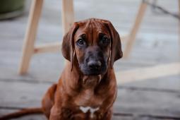 Rhodéský ridgeback - štěně s PP