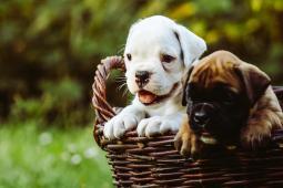 Prodám štěně bílého německého boxera s PP