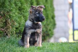 Nemecký ovčiak - šteniatka