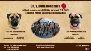 Štěňata bullmastif