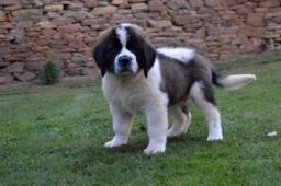 Svatobernardský pes s PP