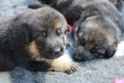 Německý ovčák- štěně  s PP