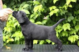 ŠtěňátkoLabradorRetriever s PP černý pes