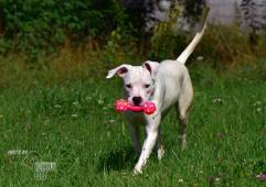 Darujeme odebraného psa argentinské dogy