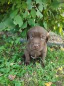 Šteniatka čokoládového Labradora