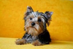 Yorkshire terrier s PP - fenka