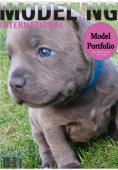 MODRÁ  štěňátka Staffordshire Bull Terriera s PP