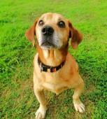 MÍŠA - Jezevčík x kříženec - pes cca 8 let