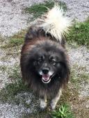 ŠARYČEK - Špic x kříženec - pes cca 3 roky