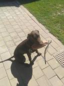 Lovecký pes KO